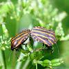 Italian Striped-Bug, Strojnica baldaszkówka