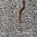European Ratsnake or Leopard Snake