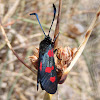 Five-spot Burnet. Zygaena