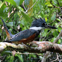 Ringed Kingfisher (f.)