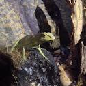 Green-crested lizard