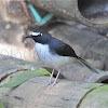 Sunda Forktail - Male
