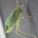 Leaf Bug?