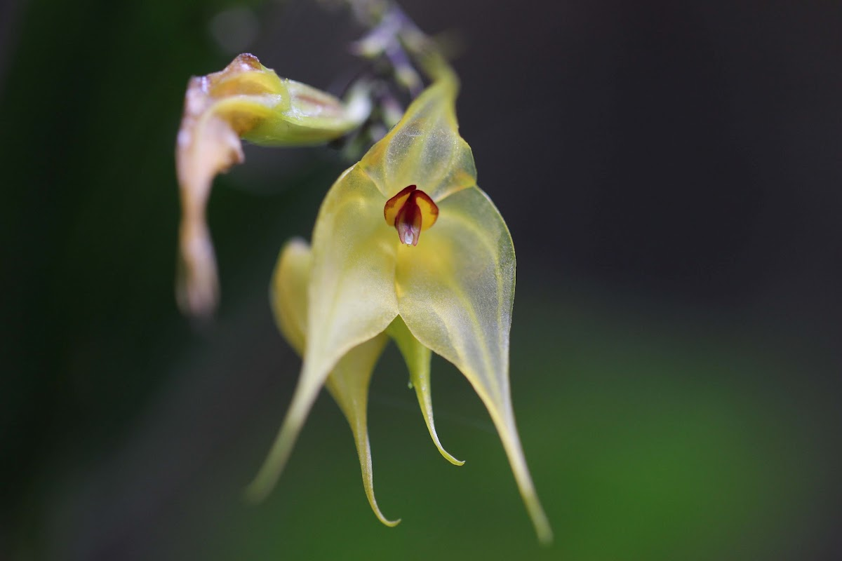 The Little Tree-like Lepanthes