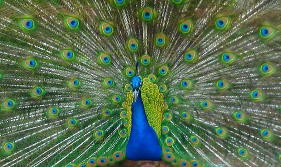 Hypnotizing Peacock  by Courtney Currie - Animals Birds ( wild, blue, green, beautiful, bird of paradise, bird photography )