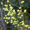 Spreading Wattle (Acacia genistifolia)