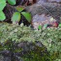 Cup Lichen or Caribou Lichen
