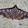 Jackfruit Borer Moth