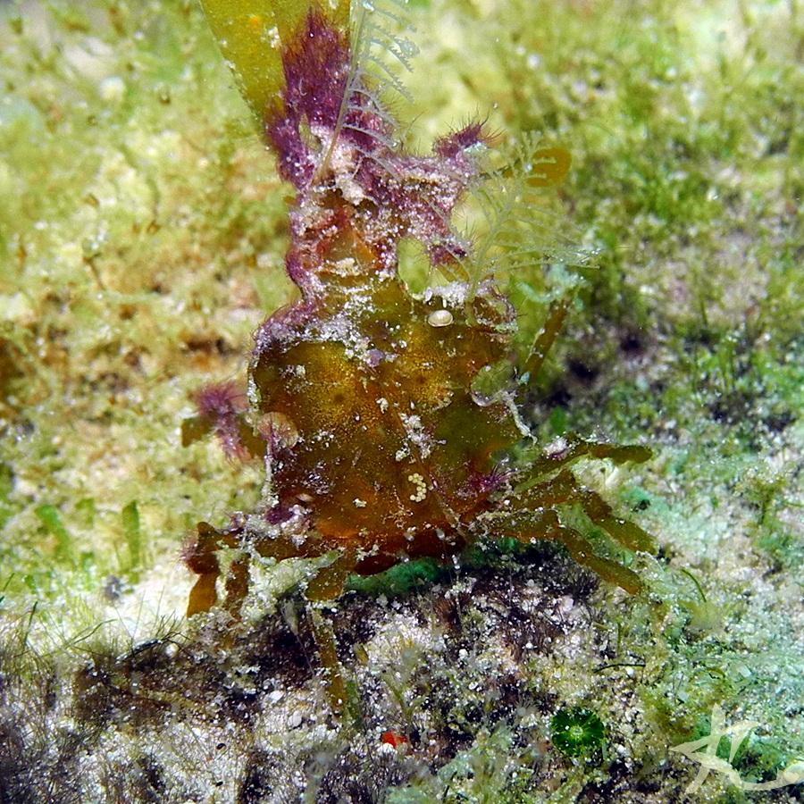 Type of crab