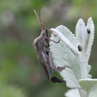 Giant Leaf-footed Bug