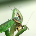 California Mantis