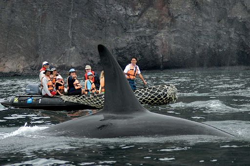 Lindblad-Expeditions-Galapagos-Orca - An orca whale rides alongside visitors in a Zodiac boat  during a Lindblad tour of the Galápagos Islands.