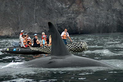 An orca whale rides alongside visitors in a Zodiac boat during a Lindblad tour of the Galápagos Islands.