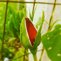 Heirloom red rose