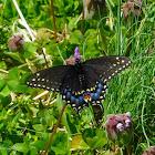 Black swallowtail (female)