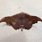 Patalene moth