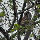 Barred Owl (predator-prey)