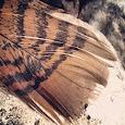 Bird feathers of Germany, Belgium & the Netherlands