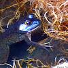 Blue Morph American  Bull Frog