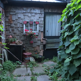 Garden Shed by Sandy Brittain - Buildings & Architecture Decaying & Abandoned ( shed, cedar, leaves, old building, rugged )