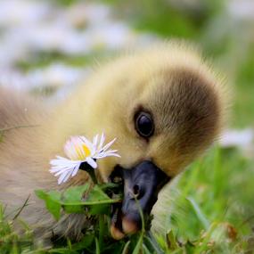 Picking Daisies by Yvette O Beirne - Animals Birds ( bird, gosling, daisies, geese, goose,  )