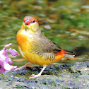 Orange breasted waxbill finch
