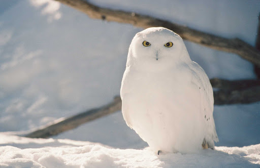 snowy-owl-Quebec - A snowy owl spotted during a wildlife excursion in Quebec.