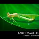 Baby Damselfly