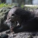 European Otter / Fischotter
