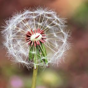 Dandelion by Stephanie Munguia-Wharry - Nature Up Close Leaves & Grasses ( dandelion, grass, weed )