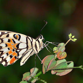white butterfly  by Jiboy Mandey - Animals Insects & Spiders ( butterfly, macro, jiboy, nikon, lens )