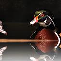 Wood Duck or Carolina Duck