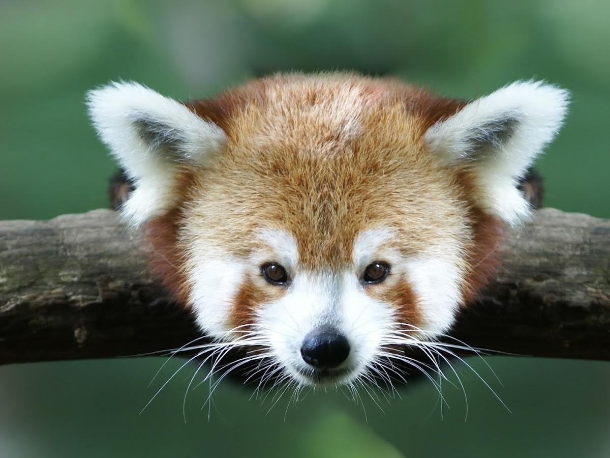 Gmail panda theme - Red Panda Hd Wallpaper Screenshot