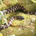 Northern Water Snake (Juvenile)