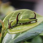 Common Map butterfly caterpillar