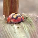 Lunate Ladybird