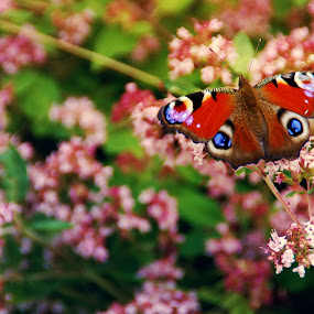 Butterfly by Kajsa Karlsson - Animals Insects & Spiders ( butterfly, red, green, pink, flowers, peacock, colorful, mood factory, vibrant, happiness, January, moods, emotions, inspiration,  )