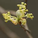 Sassafras Tree Flowers