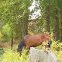 cabalo (gal)