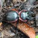 Red-bordered Ground Beetle