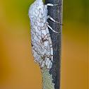 Tiger Moth laying eggs