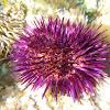 Erizo de mar común. Sea urchin
