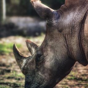 Sumatran Rhinoceros by Asep Dedo - Animals Other (  )