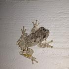 Gray/Cope's Gray Treefrog
