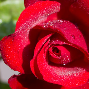 Red Rose by Nithesh Panikkassery - Flowers Single Flower ( rose, wallpaper, red rose, flower )