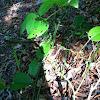 Thorn bush