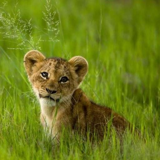 Lion Cubs Live Wallpaper