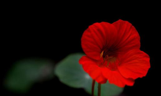 紅色花朵壁紙