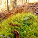 Windblown Moss