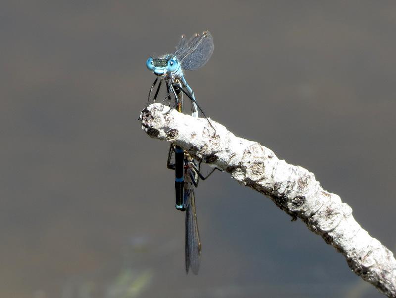 Blue Ringtail Damselflys (mating)